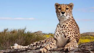 Los guepardos no pueden rugir, en cambio maullan