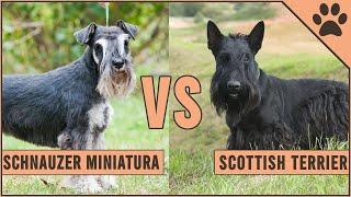 Schnauzer Miniature vs Scottish Terrier | Perros Mundo
