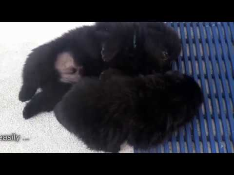 Sailing Schipperke puppies - what to expect during their 4th week