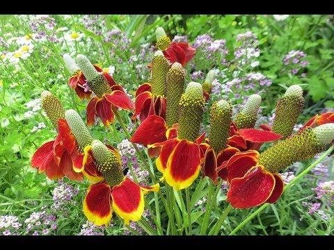 """Ратибида """"Мексиканская шляпка"""" - выращивание из семян. Посев и всходы, за 4 дня. №1."""