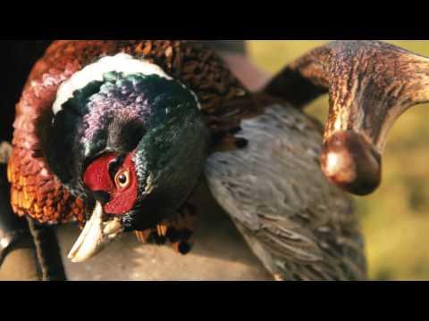 Pheasant Shoot at Sorn Castle, Sorn Estate, Scotland