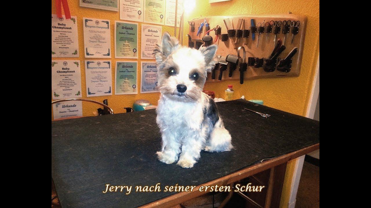 Schur Eines Biewer Yorkshire Terriers 2 Youtube