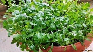 Malliyila | How to grow coriander at home | മല്ലിയില കൃഷി | Coriander Leaves - NRK