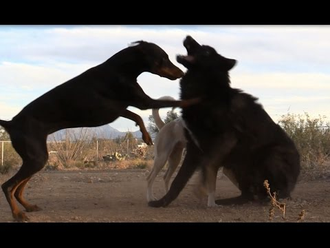 Wolf playing with two dogs (Wolf vs Doberman & Egyptian Dog)