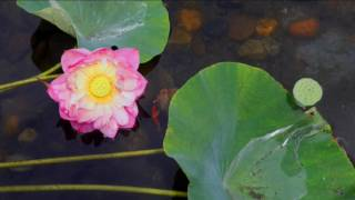 拾步  荷花  Lotus  Photos by Tony Kwok