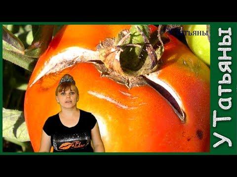 Вопрос: Какие есть 5 причин растрескивания помидор, что нужно знать и делать см.?
