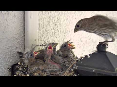 Backyard Bird Watching: House Finch Nest 5 Weeks Complete Documentary