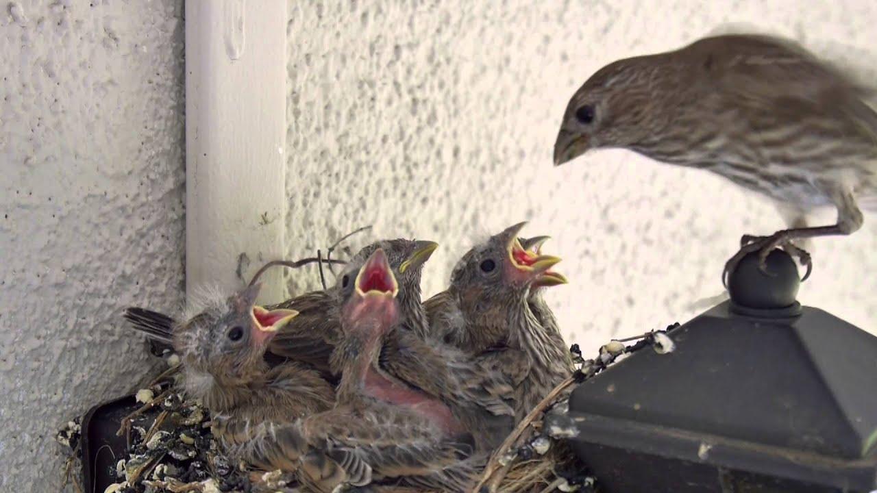 backyard bird watching house finch nest 5 weeks complete