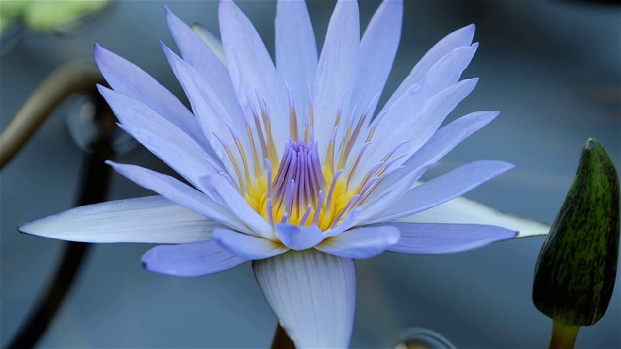 Blue water lily youtube blue water lily izmirmasajfo