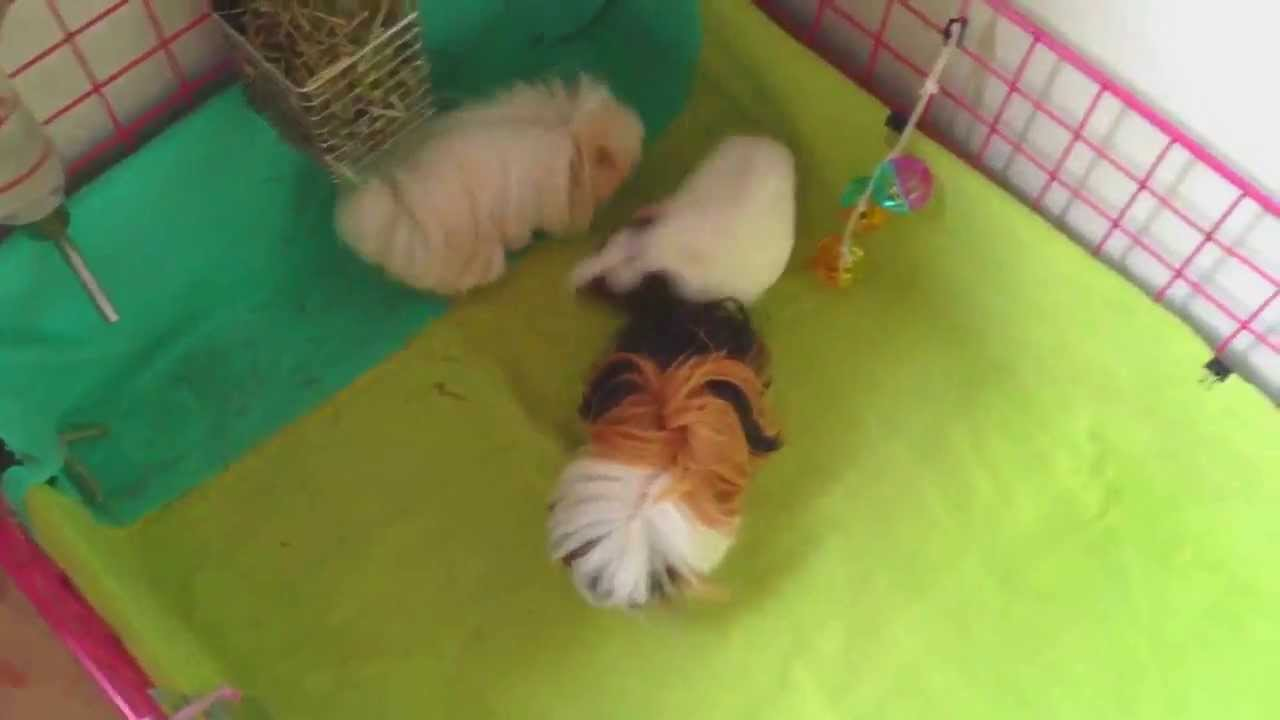 How to tell if a guinea pig is in heat
