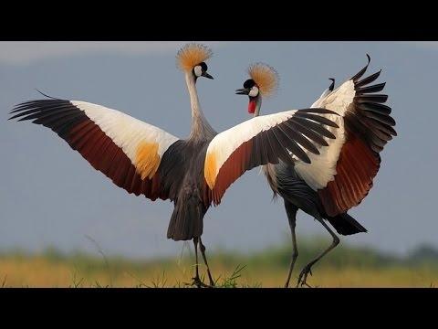 Dancing Birds - BBC Documentary