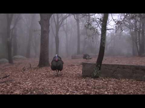 2017 Goulds Turkey Hunt In Mexico-Wayne Day Second Bird
