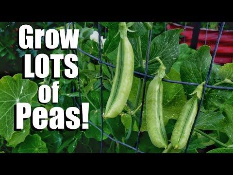 How to Grow Peas- 3 Tips for a Continual Supply, 3 DIY Trellis Ideas // Spring Garden Series #6