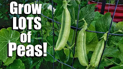How to Grow Peas- 3 Tips for a Continual Supply, 3 DIY Trellis Ideas // Spring Garden Series #6