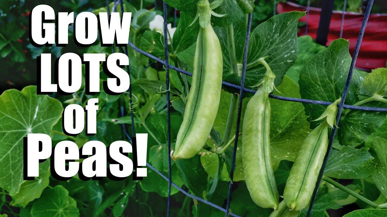 how to grow peas 3 tips for a continual supply 3 diy trellis ideas spring garden series 6 - Garden Peas