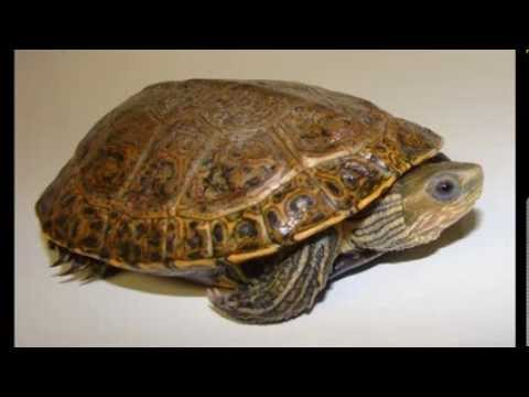 السلاحف البرية في الجزيرة العربية  turtles