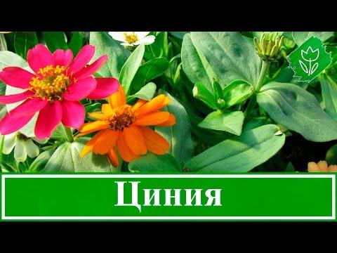 🌼 Циния – посадка и уход, выращивание из семян
