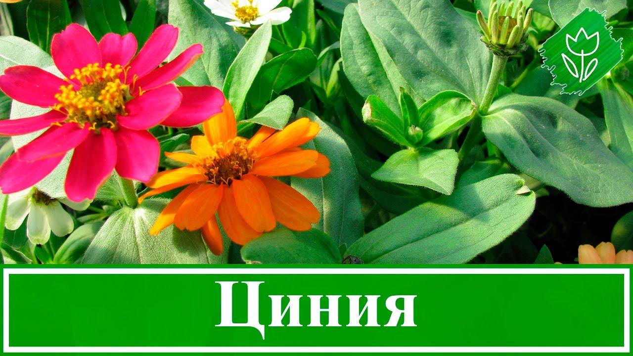 Циния – посадка и уход, выращивание из семян - YouTube