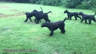 GIANT SCHNAUZER Dogs Playing Moments From Schnauzer Cedhuz
