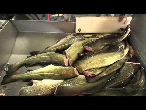 Ramoen Trawler - Catching & Producing Frozen At Sea Cod