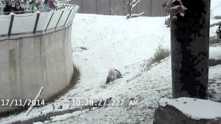 Toronto Zoo Giant Panda Tumbles In The Snow
