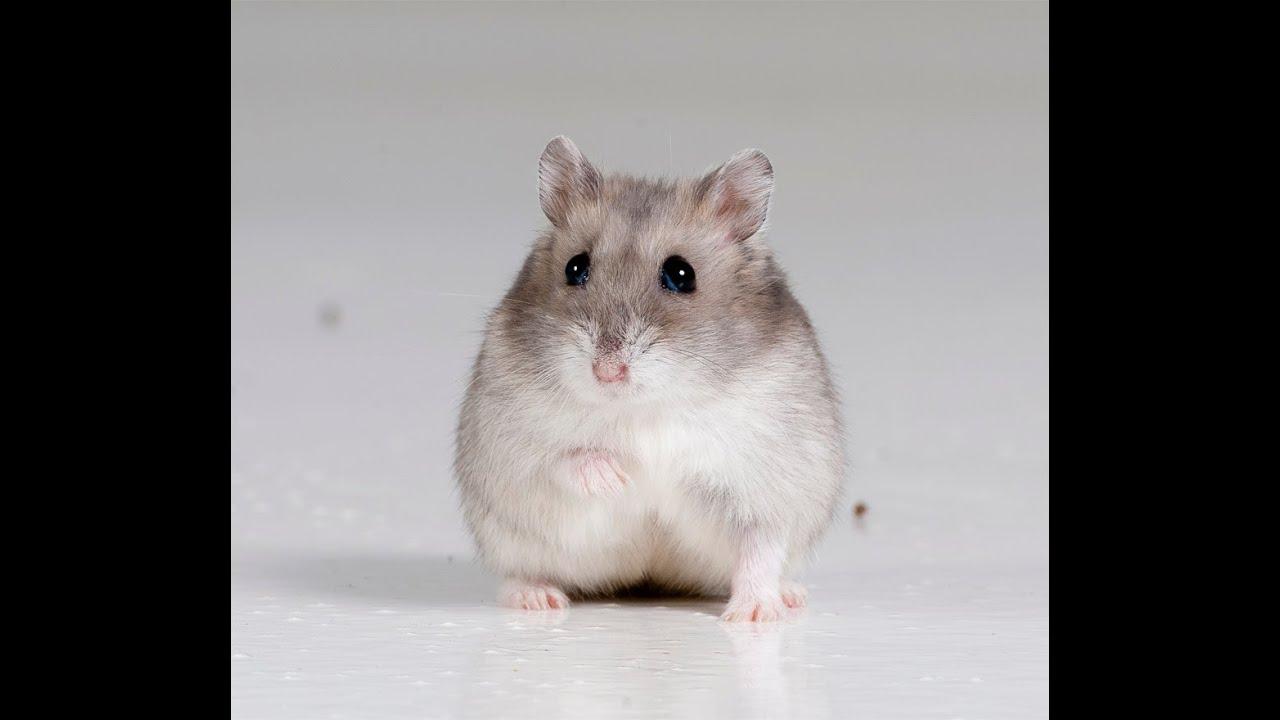cum să vă ajutați hamsterul să piardă în greutate