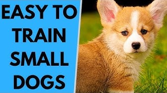 TOP 10 Easy to Train Small Dog Breeds