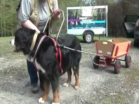 Ina Hoffmann trainiert Berner Sennenhund als Bollerwagen-Zugtier