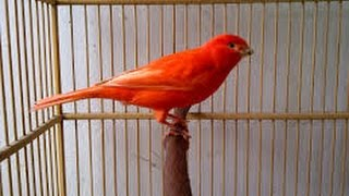 Perawatan Harian Burung Kenari Agar Cepat Gacor Dan Tidak Mudah Macet Bunyi