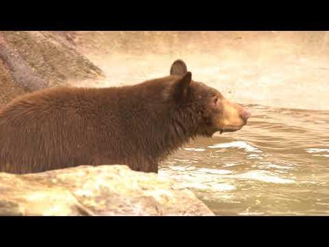 Black Bears Enter New Habitat at Oakland Zoo