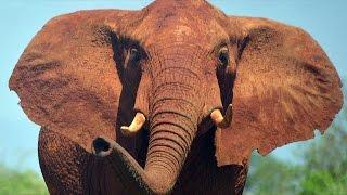 Африканских слонов всё больше истребляют ради бивней (новости)
