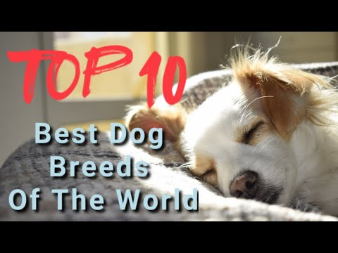 World Top 10 | Top 10 Best Dog Breeds Of The World