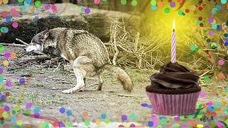 Nature Calls Wolf Ralf 💩 Crappy Birthday