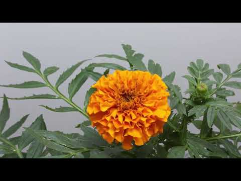 Marigold Video | Flowers name for kids