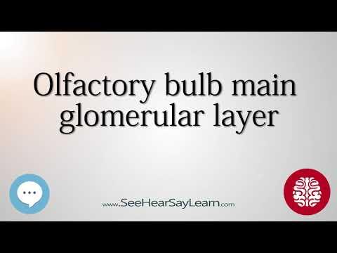 Olfactory bulb main glomerular layer   Anatomy of the Brain   SeeHearSayLearn