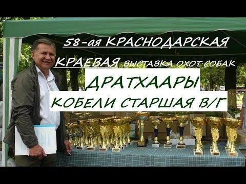 Выставка собак, ДРАТХААР, КОБЕЛИ СТАРШАЯ возрастная группа, 58 Краснодарская краевая выставка