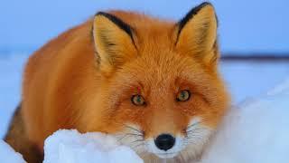 Картинка животное. Лиса, взгляд, зима, снег, рыжая. Zvierací obrázok. Fox, pohľad, zima, sneh