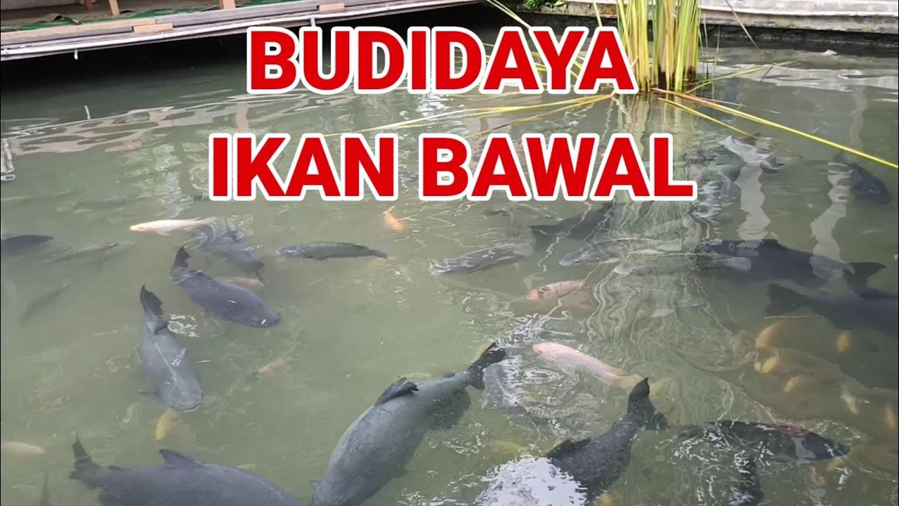 Download Budidaya ikan bawal