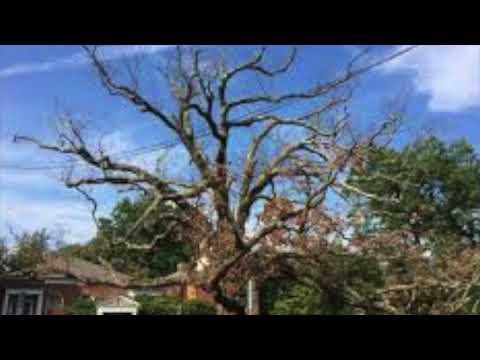 Tree  Video  In Memory of Robert M. Simon, z