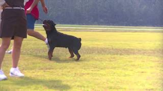 Sam Von Sederhaus Rottweiler Stud Training For Schutzhund And Conformation - Running