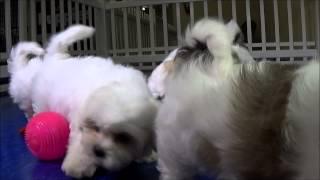 Teddy Bears (shih Tzu + Bichon) Puppies In Orlando