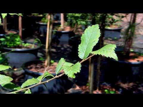 *American Elm Tree* +Ulmus americana+Survive -40 Degrees F+