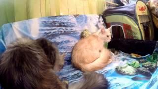 Кошка отбивает котят у их матери.Cat fights off kittens from their mothers.