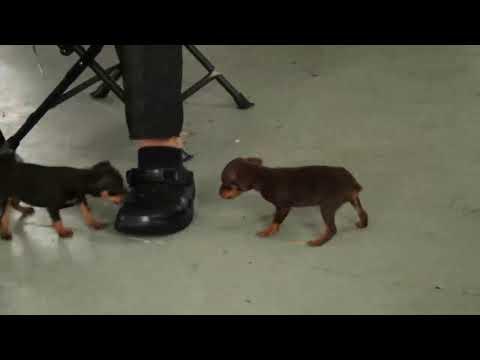 Miniature Pinscher Puppies For Sale