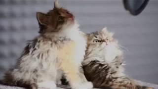 Video Cat song~Miao song~Animals & co. download MP3, 3GP, MP4, WEBM, AVI, FLV Oktober 2017