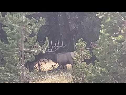 Yellowstone NP - Bull Elk