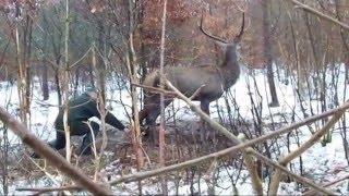 uwolnienie jelenia z wnyków