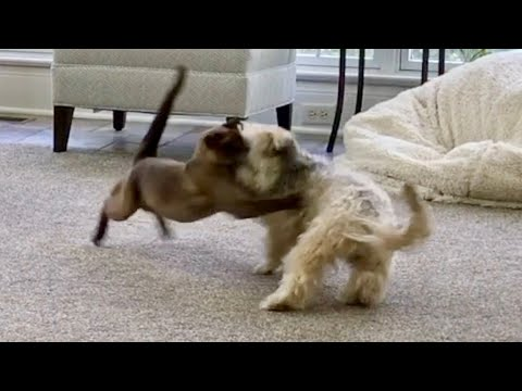 Burmese Cat vs. Havanese Dog! - Who Wins?