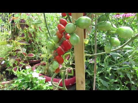 Tomato Profile: 'Grape Tomato' or 'Red Grape Tomato': Huge Production - TRG 2014