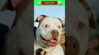#FACTS 025: AMERICAN BULLDOGS  FACTS ABOUT DOGS YOU DIDN'T KNOW! #shorts
